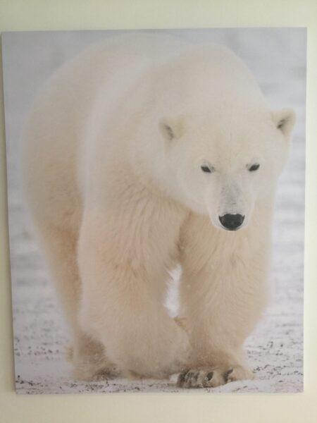 Bilde Polar Bjørn